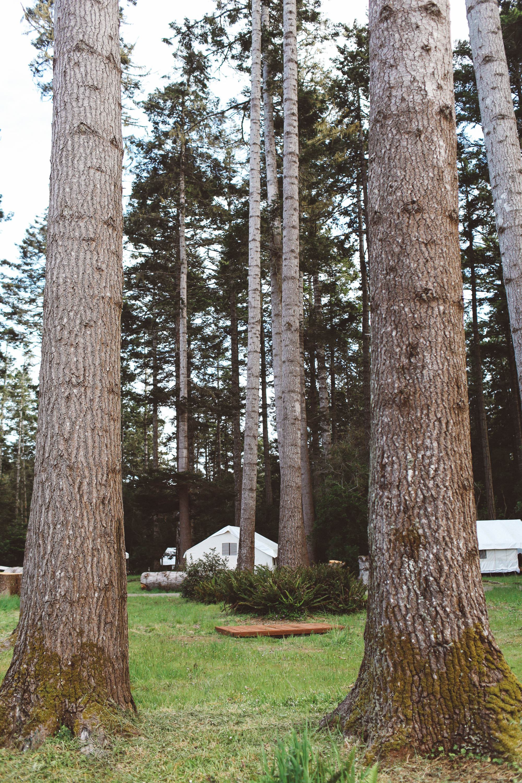 Fir trees in Mendocino