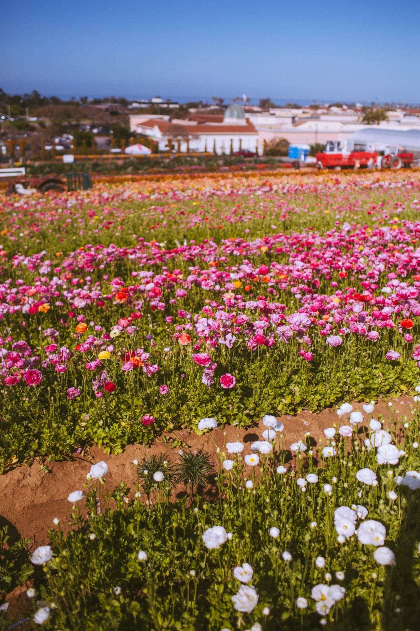 White, pink and orange flowers lining the Carlsbad Flower Field