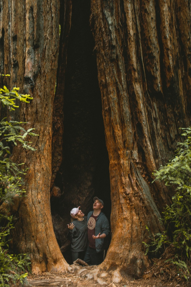 A couple in a tree at the Armstrong Redwoods State Park