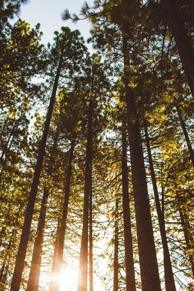 Redwoods in Tahoe