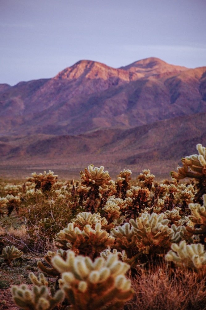 Desert plants and mountains in Joshua Tree