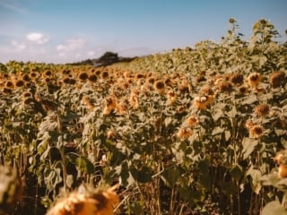Sunflowers at Andreotti Farm in Half Moon Bay, California