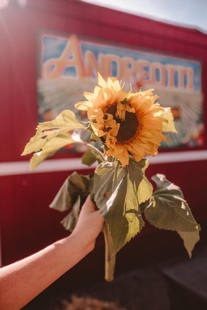 Sunflower from Andreotti Sunflower Farm in Half Moon Bay, California