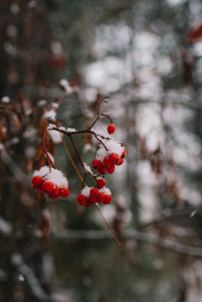 Tree berries at the Sleeping Lady Mountain Resort in Leavenworth, Washington