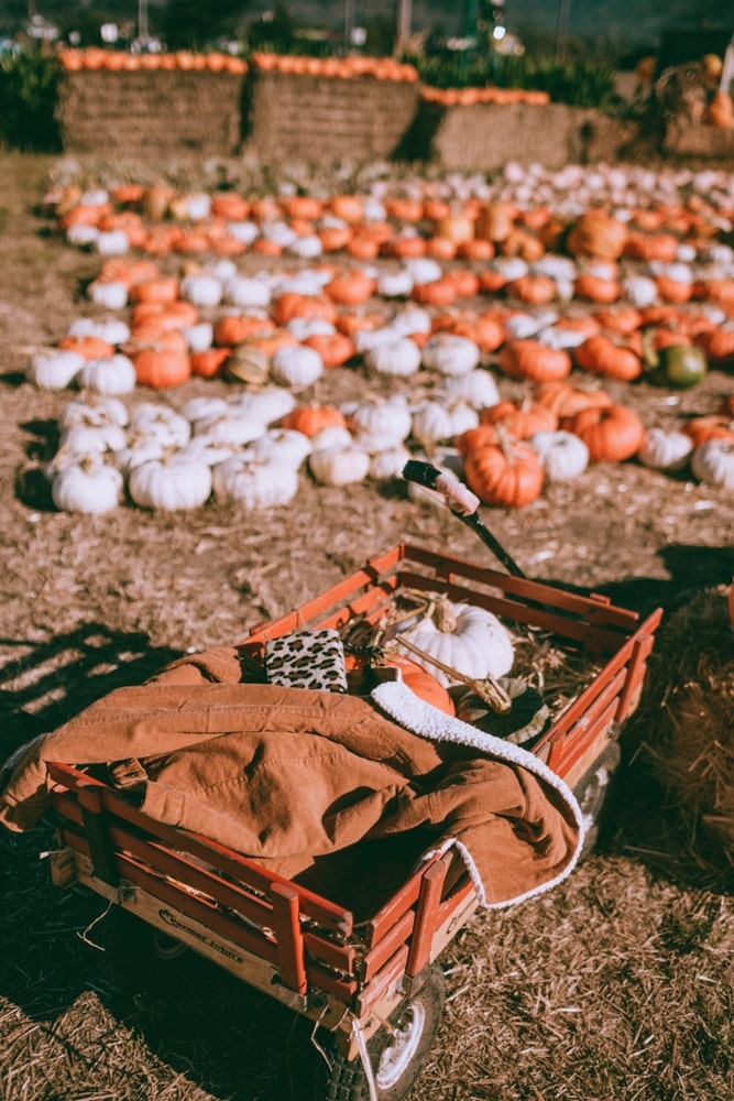Classic Radio Flyer wagon to collect pumpkins and squash at Farmer John's in Half Moon Bay, California