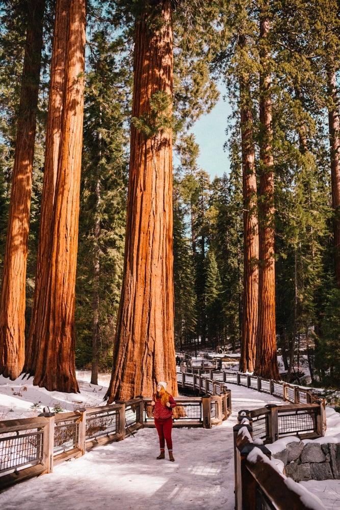 Kara walking among the Giant Sequoias at Mariposa Grove in Yosemite National Park