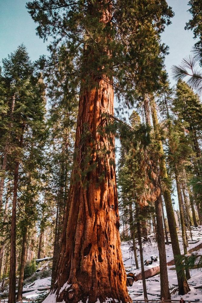 Giant Sequoia tree at Mariposa Grove in Yosemite