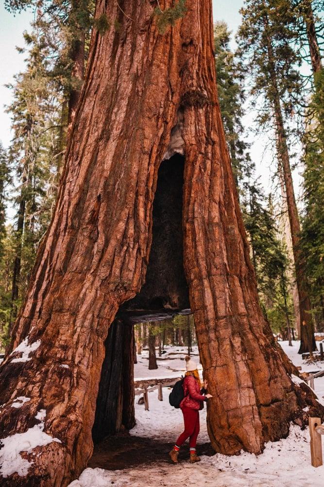 Kara walking through a Giant Sequoia in Yosemite National Park