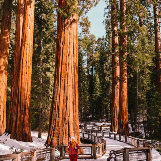 Kara walking among the Giant Sequoias at Mariposa Grove in Yosemite National Park